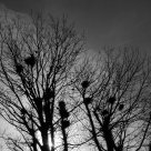 rooks nests